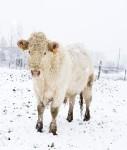 CH2-127x150 in CH2 bekommt die Kuh vom Eis und bringt Solarpark rechtzeitig ans Netz