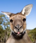 Kangaroo-from-australien-127x150 in Deka füllt Immobilien-Portfolio in Australien