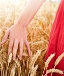 Wheat-127x150 in Saxo Bank: Weizenpreis gedeiht prächtig