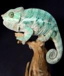chameleon 2