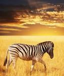 zebra prärie - online