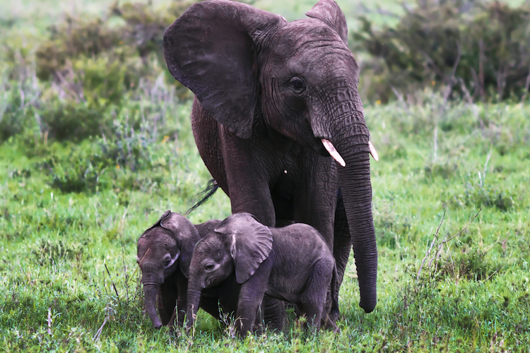 Afrika-Elefanten-750 in Schwellenländer in der Währungskrise: werden Importgüter jetzt günstiger?