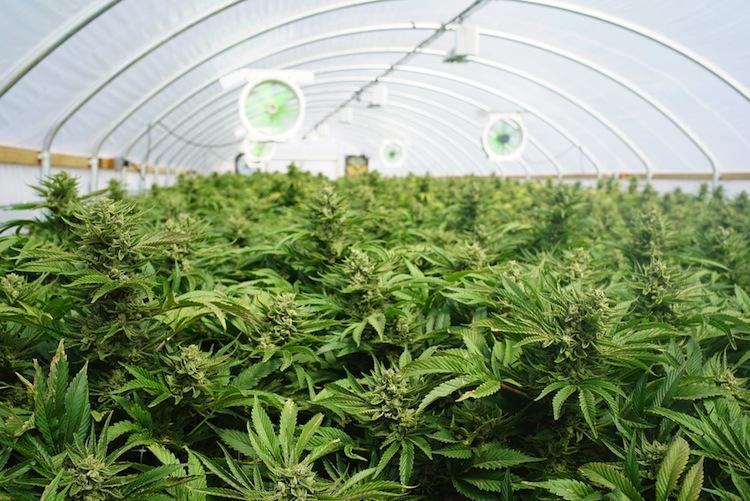 Shutterstock 470312240 in Cannabis wird auf Rezept freigegeben, Krankenkassen müssen zahlen