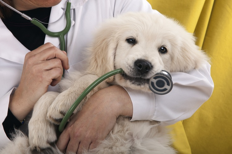 Shutterstock 97664525 in Kostenfaktor Tierarzt: Hundebesitzer fürchten finanzielle Schwierigkeiten