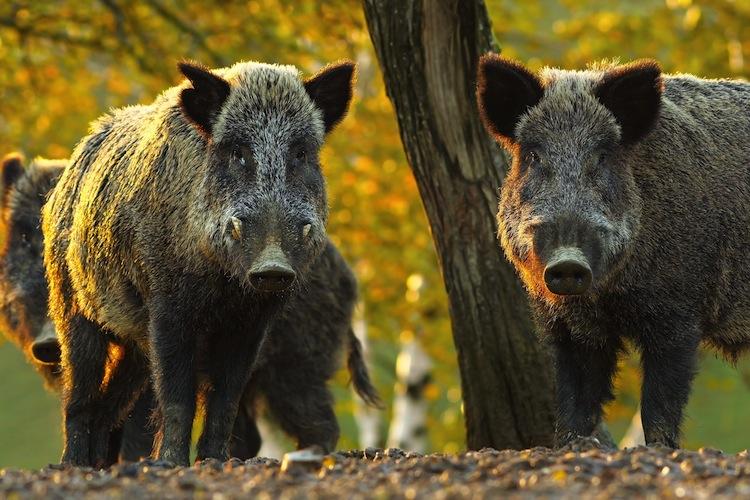 Shutterstock 503523028 in Afrikanische Schweinepest in Belgien: Nur 60 Kilometer vor der deutschen Grenze