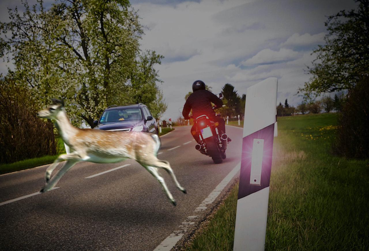 Reh überquert die Straße und wird fast von einem Motorrad erfasst.