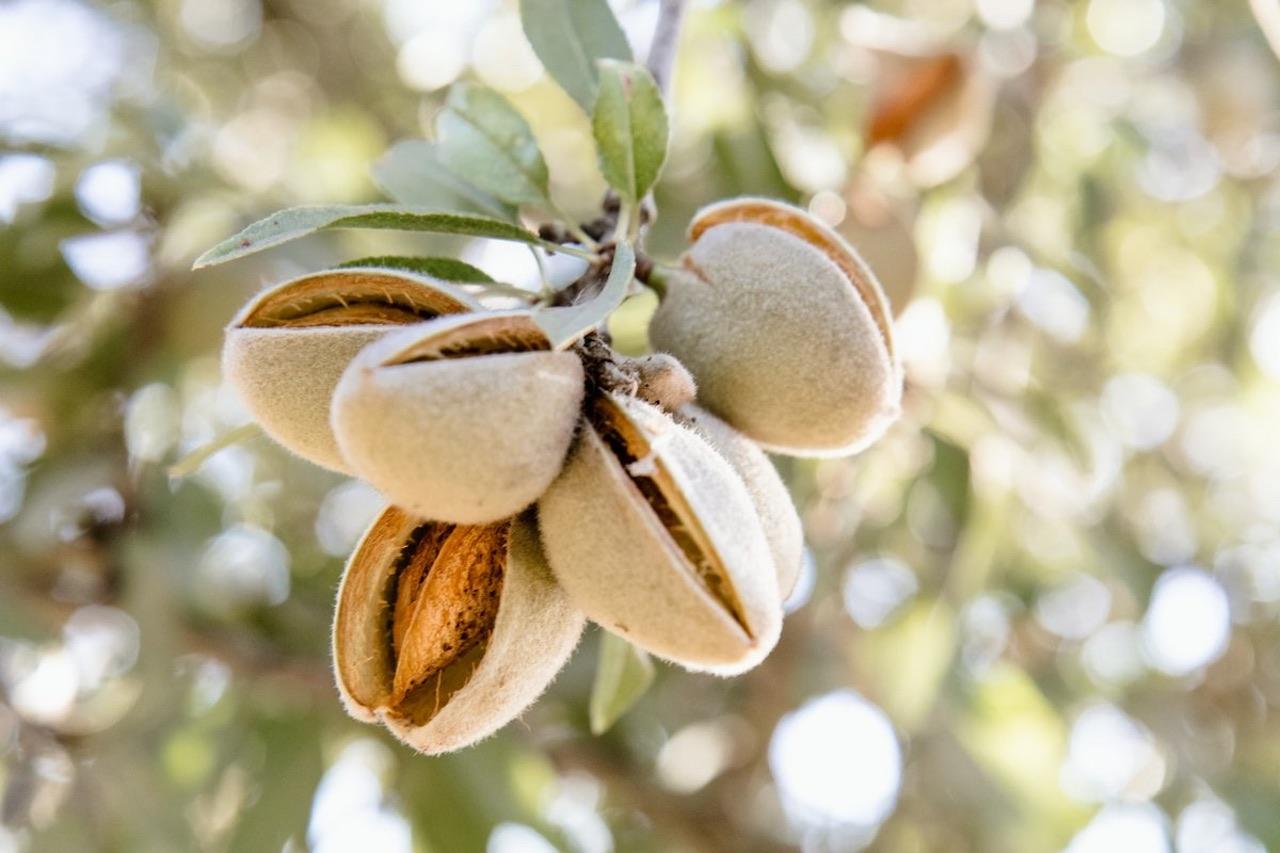 Investitionsziel von Forest Finance: Reife Mandelfrüchte am Baum.