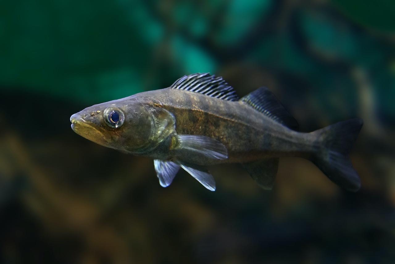 Edelfisch Zander schwimmt im Wasser.
