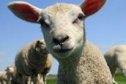 Aquila Capital erwirbt neuseeländische Schaffarm für Agrarfonds