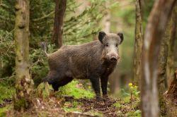 Kein Geld für Fleisch: Rentner schlachtet Wildschwein vor Supermarkt